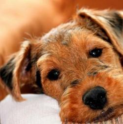 Welsh terrier puppy - Cutie