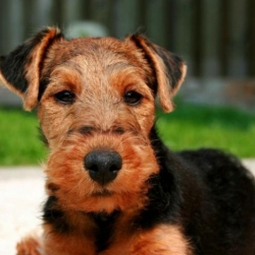Training and bonding with your terrier