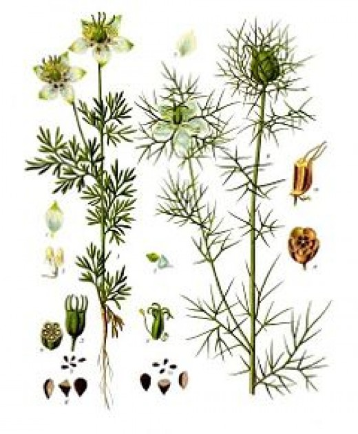 Nigella-Sativa_plant
