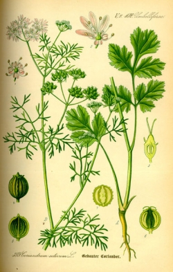 Coriander is the seed from Cilantro
