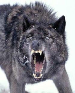 wolf showing fangs