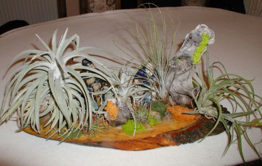 An arrangement of various types of Air Plant