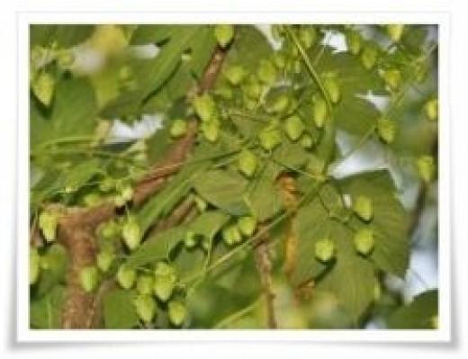 hops on the vine
