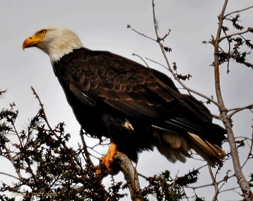 The top months to watch Bald Eagles in the Lower Mainland are from October to March