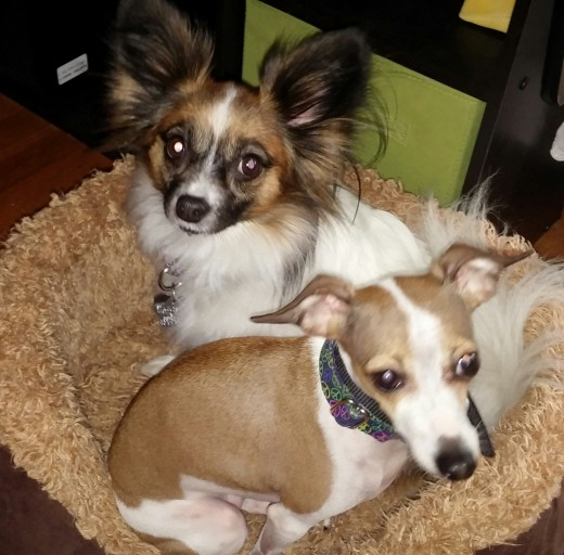 Lily the Papillon and Lucy the Italian Greyhound
