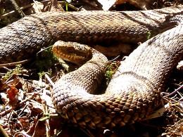 serpiente verrugosa del choco