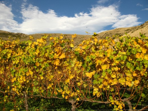 Autumn vines near Kaituna, Banks Peninsula, New Zealand