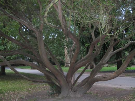 Twisty tree, Christchurch Botanical Gardens