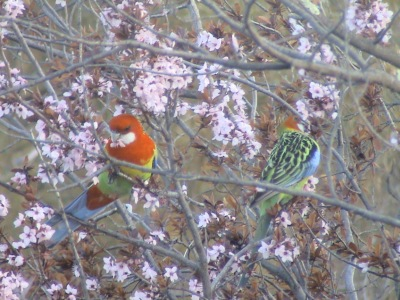 King Parrots Eating my Cherry Blossoms