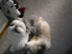 All About Shih-Tzus