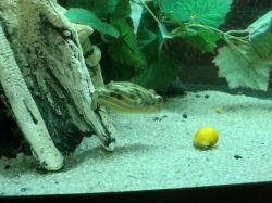 puffer eating snail