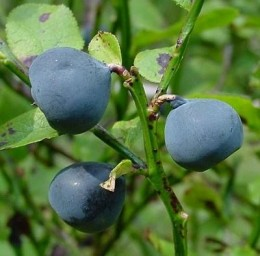 bilberry, otherwise known as European blueberry. Photo by Leo Michels from  http://www.imagines-plantarum.de/