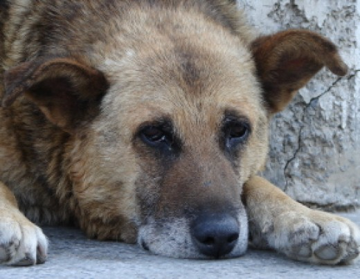 Sometimes incontinence in older dogs is a problem for aging pets.