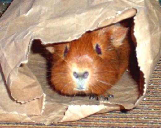 What toys can i give my guinea pig for Homemade guinea pig