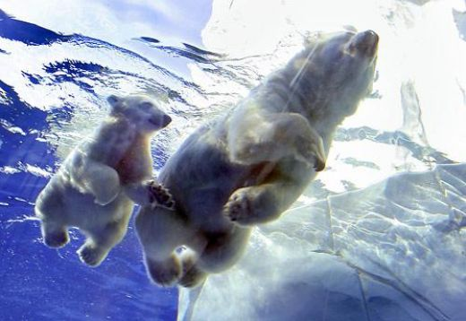 The Funniest Joke: Baby Polar Bear