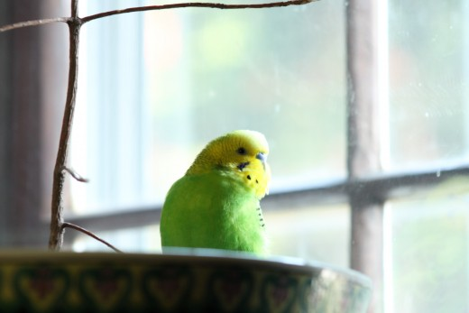 Tina the parakeet soaks up some sun.