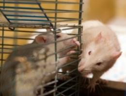 3 rats video