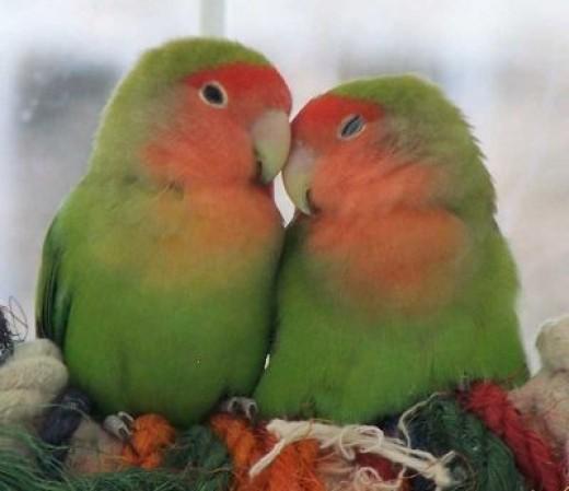 Lovebirds .. so sweet