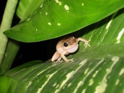 Coqui Frogs HIDE