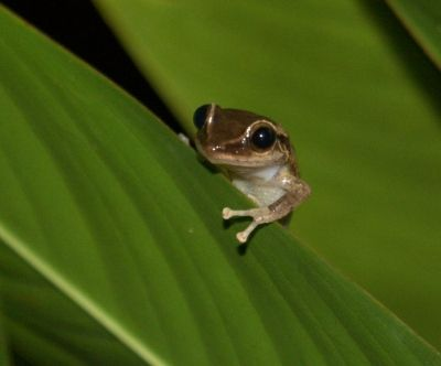 Coqui Frogs HIDE