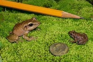 How Big Are Coqui Frogs?