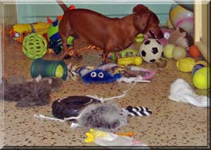 Dachshund Luke loves toys