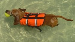 Dachshund Luke Wearing HIs Life Jacket