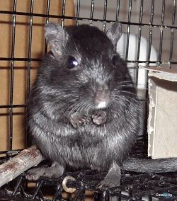 One of our gerbils.