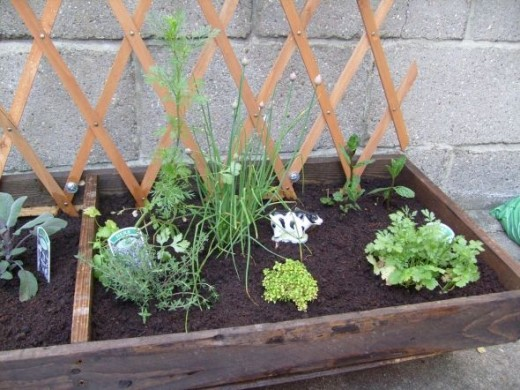 Mint And Chives In Herb Garden