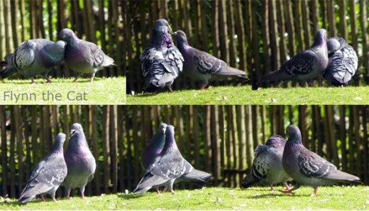 Two pigeons courting on a fine spring day