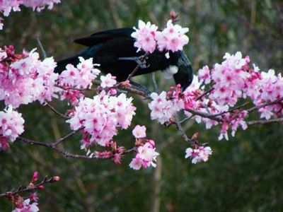 This tui is feeding on Japanese (or taiwanese) cherry blossoms, outside of a local school. I used this photograph as a reference for the tui painting you can see on this page.