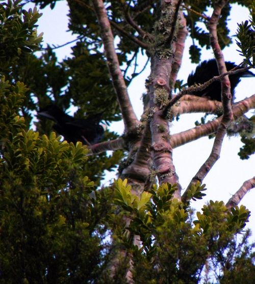 Two tui puffing up and threatening each other - mating season. They're very territorial.
