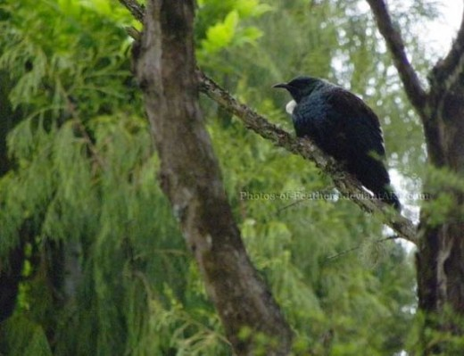 Here's a tui from November 2009. I went for a walk down the streets around my house.