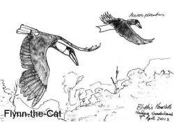 Blyth's Hornbills, Solomon Islands