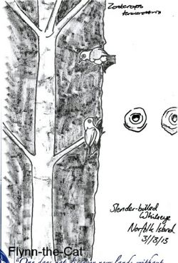 Slender-billed Whiteeye, Norfolk Island