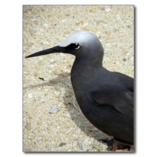 Black Noddy (Anous minutus) from Fiji