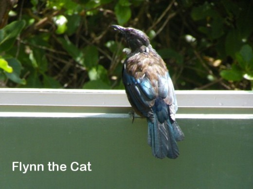 A tui sitting on the water trough outside the information centre