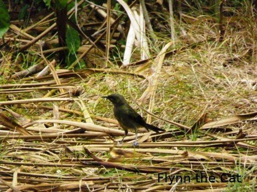 North island robin up behind the Kawerau track