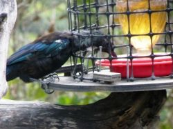 A tui on the feeder at the Tiritiri Matangi information centre