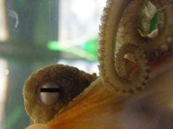 Octopus looking back through the glass at Kelly Tarlton's Aquarium