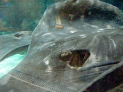 Short-tailed stingray (part of - you can see the eyes, gills and part of the rippling wings). Approx. 1m across