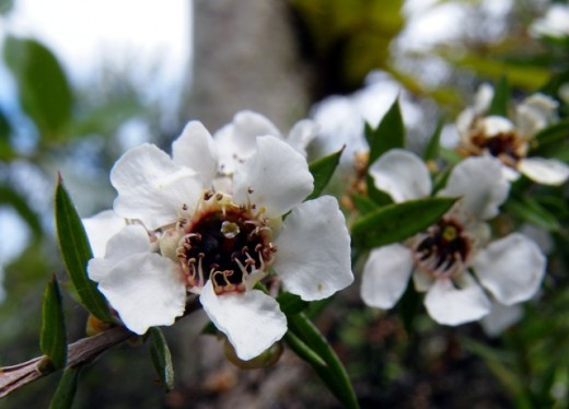 Manuka flowers along the Wattle track