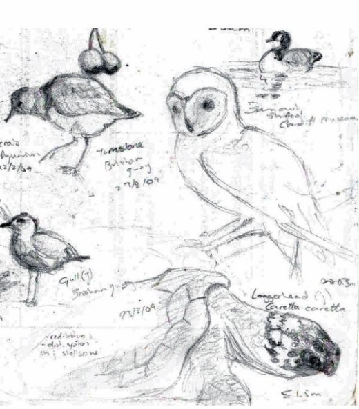 Barn Owl, Canada Goose, Loggerhead Turtle, Turnstone and Gull