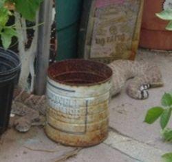 Rattlesnake on my patio, June 2009