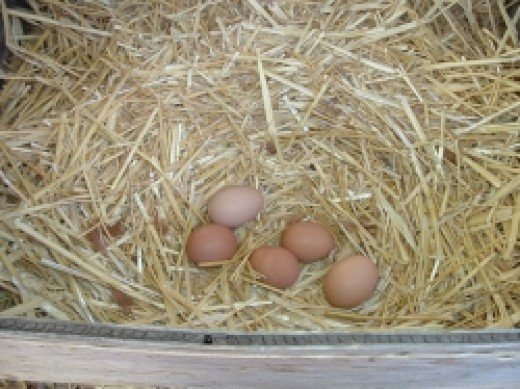 Home Grown Organic Eggs