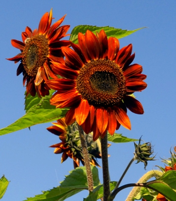 Sunflowers come in all sizes and colors, small to towering giants, from pale yellow to deep bronze.