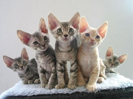 Devon Rex cats are playful and very people-oriented, preferring high places.