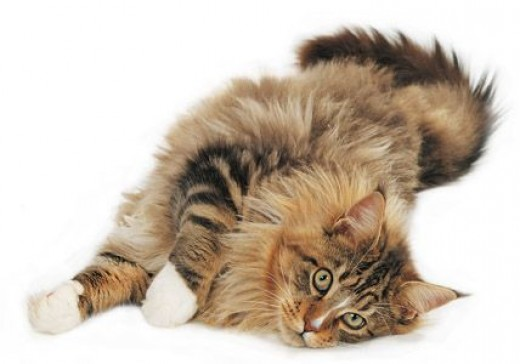 Main Coone are the only cats that originated in the U.S.