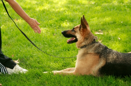 A well-trained German Shepherd makes its owner come to it!