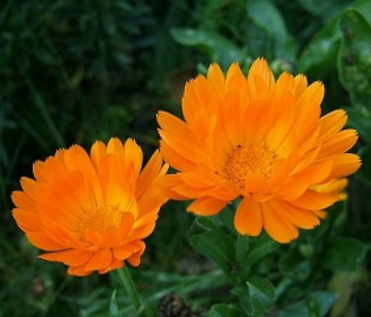 Two Marigolds, AKA Calendula officinalis